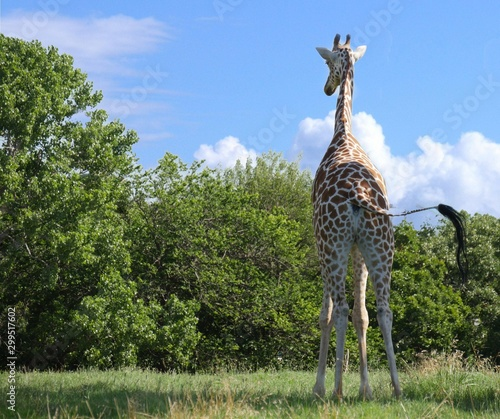 Photo  Wide shot, backside of a giraffe standing with its tail off to one side