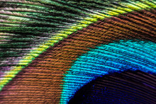 Peacock Feather Macro. Peacock...