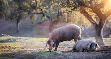 Iberian Pigs Eating In The Countryside Freely