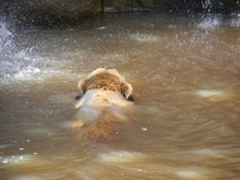 A Grizzly Bear Swims In Brownish Waters