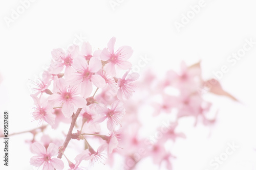 Pink sakura flower, Cherry blossom, Himalayan cherry blossom in pink background.