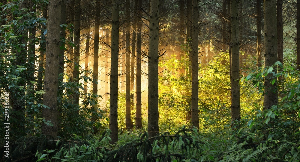 Fototapety, obrazy: Sun rays in a fog in a misty morning green forest. Osnabruck, germany