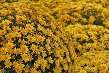 Chrysanthemum Flowers Blooming