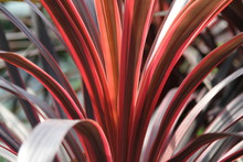 Cabbage Palm Cordyline Australis Red