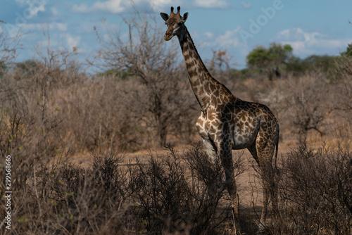 Photo Masai giraffe in Selous Game Reserve in Tanzania