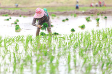 Farmers Are Planting Rice In T...