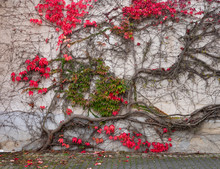 Beautiful Colorful Ivy With Au...