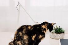 Black And Tan Calico Cat Sitti...