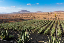 Aloe Vera Growing On The Island Of Fuerteventura In The Canary Islands