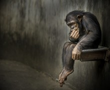 Chimpanzee Sitting On A Metal Rusty Sink In A Weathered Cage Contemplating About Something Deep