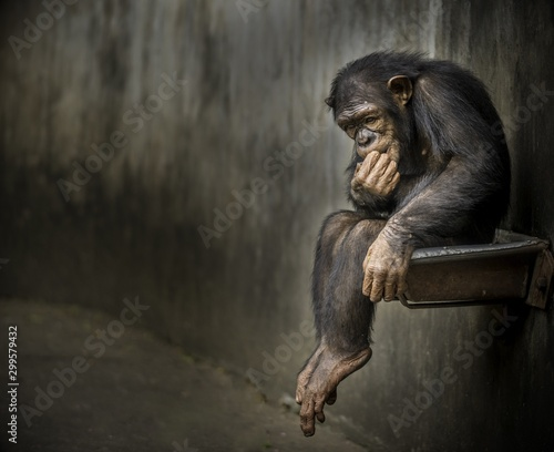 Chimpanzee sitting on a metal rusty sink in a weathered cage contemplating about Fototapet
