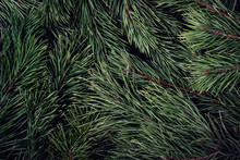 Natural Background From Coniferous Branches With Long Needles