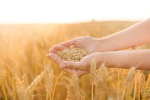 Harvesting, Nature, Agriculture And Prosperity Concept - Hands Holding Ripe Wheat Grain On Cereal Field
