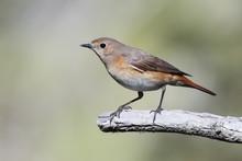 Common Redstart Is Migratory Bird