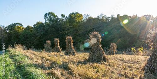 Slika na platnu Ohio countryside landscape with Amish cornstalks in Autumn