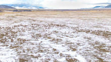DRONE: Flying High Above The Snowy Prairie As A Herd Of Elk Migrates In Winter.