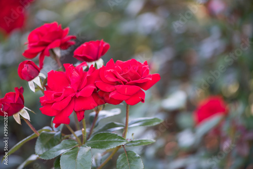 Aluminium Prints Bestsellers red flowers in the garden