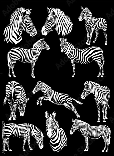 Fotografía  Graphical set of zebras isolated on black background,vector engraved illustratio