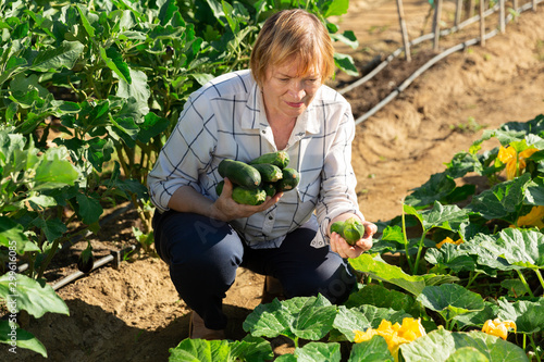 Mature woman picking squash at homestead Fototapeta