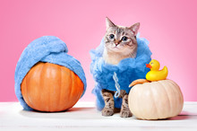 Cat Wearing Loofah Spa Halloween Costume And Pumpkins With Towel Turban At The Pink Background