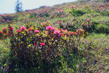 Mountain Azaleas On The Alps