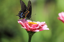 Black Pipevine Swallowtail Butterfly Feeding On A Pink Zinnia With A Bokehed Green Background