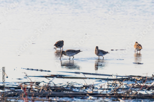 Photo Common Snipe (Gallinago gallinago) group of birds in water