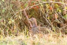 Female Ring Necked Pheasant (Phasianus Colchicus) In Natural Habitat