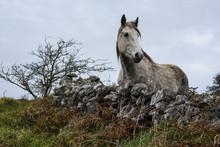 Beautiful Dapple Grey Irish Ho...