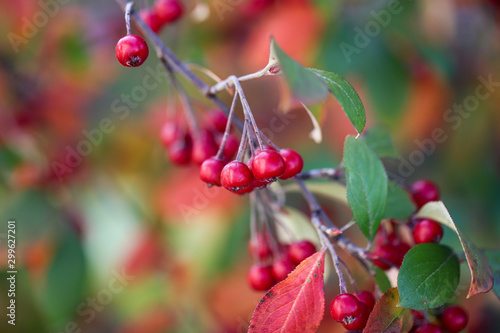 Glossy green leaves and brilliant scarlet red berries on a multi stemmed Brillliantissima chokeberry tree