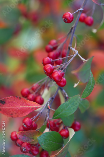 Brilliantly colored clumps of edible scarlet chokeberries with red and green leaves