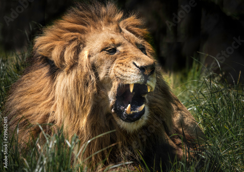 Pinturas sobre lienzo  A lion growling with ts mouth open showing its large teeth.