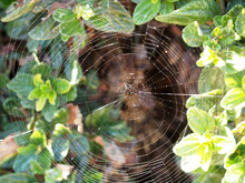 Spider-web Spiral In The Bushes