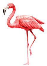 Tropical Birds, Pink Flamingo On An Isolated White Background, Watercolor Illustration