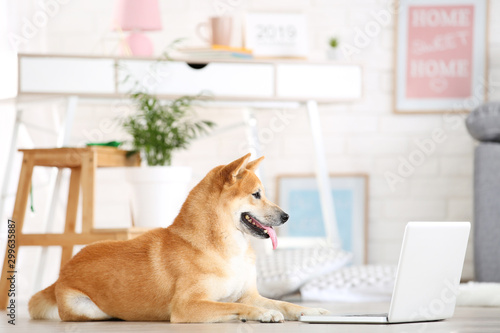 Shiba inu dog lying on the floor at home with laptop computer Fototapet