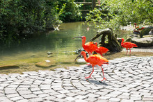 Exotic Birds Walking Freely On Path Through Local Zoo.