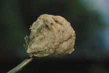 European Praying Mantis (Mantis Religiosa) Egg Case