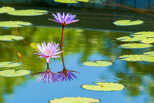 Two Purple Lotus With Reflection In The Water On Nature Background. Blossom Pairs Violet Waterlily With Shadow On The Lakes.