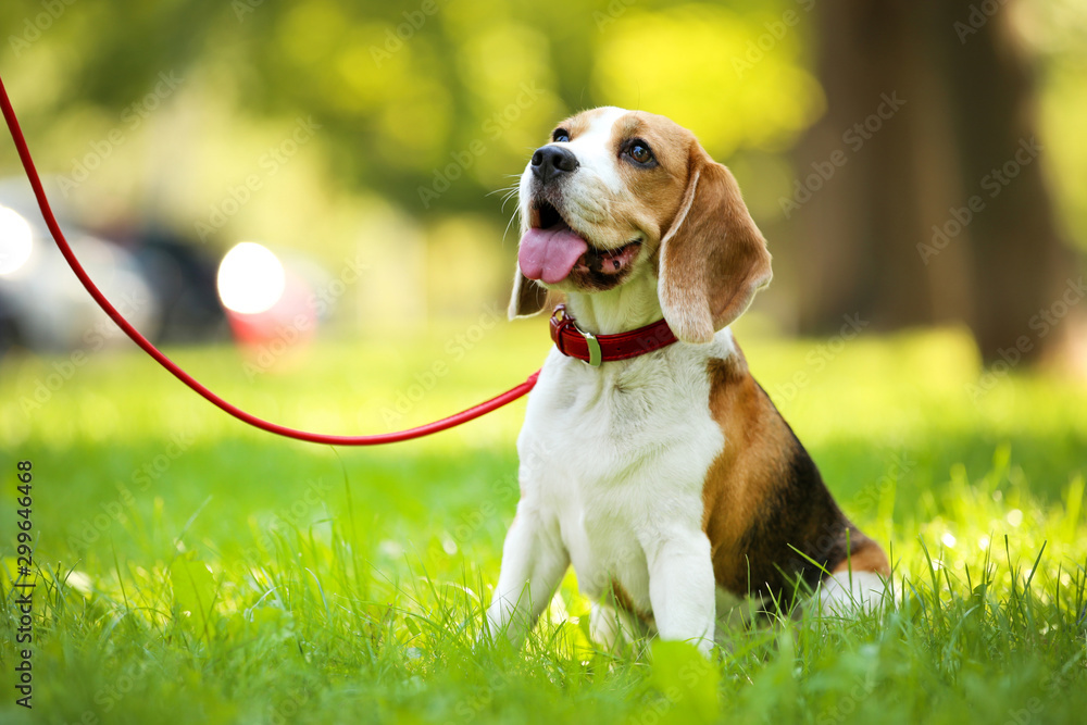 Fototapety, obrazy: Beagle dog sitting on the grass in park