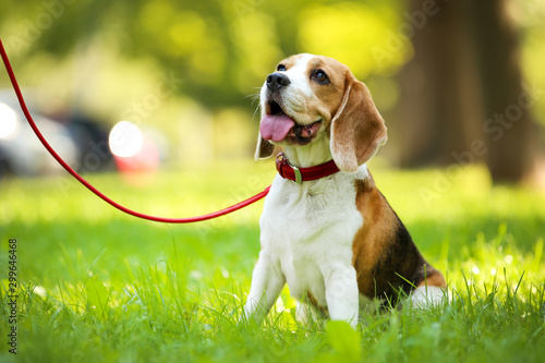 Beagle dog sitting on the grass in park Wallpaper Mural