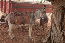 A Donkey Roped At A Tree In A Semiarid Region In The Interior Of Piauí, Northeast Of Brazil, Drought And Poor Region