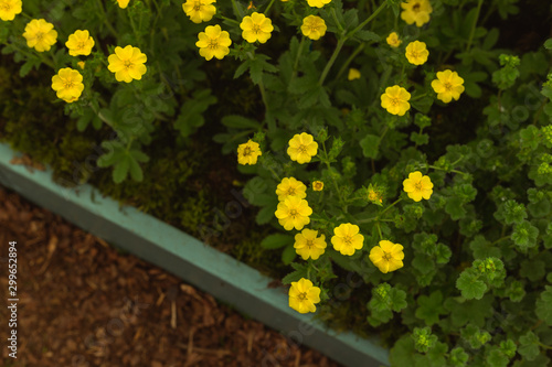 Yellow cinquefoil flowers planted in the garden Fototapeta