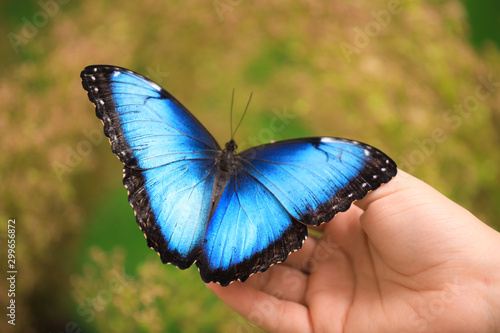 Valokuva Woman holding beautiful Blue Morpho butterfly outdoors, closeup