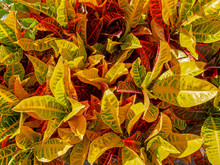 Detail Of Croton Plant Leaves,...
