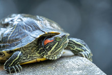 Red-Eared Slider Turtle (trach...
