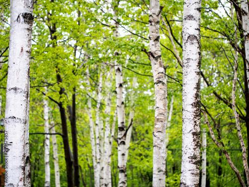 Tuinposter Berkbosje Birch Trees