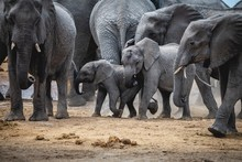 Group Of Elephants Marching On...