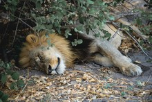 Exotic Lion Sleeping On The Ground Under A Bush In The Jungle