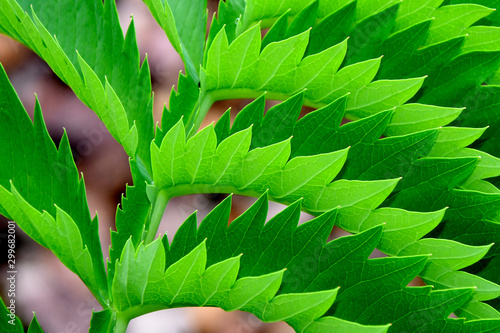 Fototapeta  Green serrated leaf abstract
