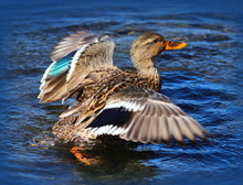 Female Mallard Duck With Wings...
